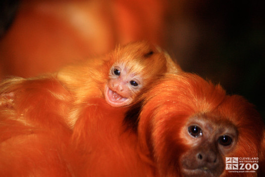 Golden Lion Tamarin with Baby on Back Close Up