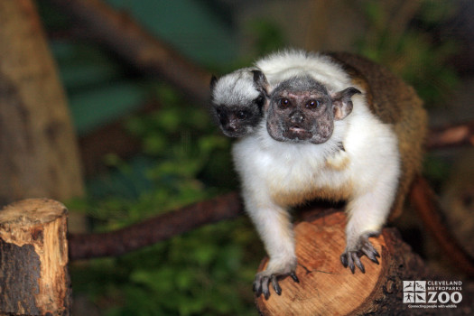Pied Tamarin and Baby