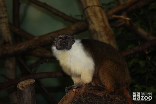 Pied Tamarin Looks Ahead