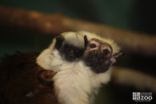Pied Tamarin and Baby 3