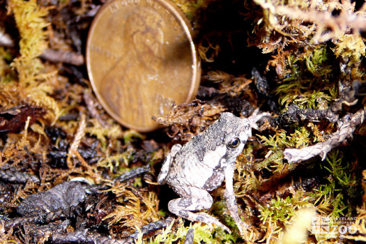 Baby Puerto Rican Crested Toad Near Penny