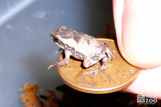 Baby Puerto Rican Crested Toad on Penny