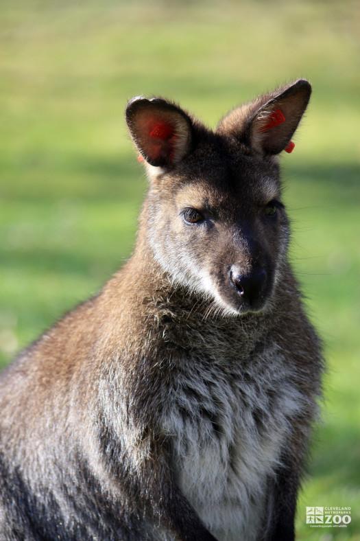 Bennett's Wallaby Close Up