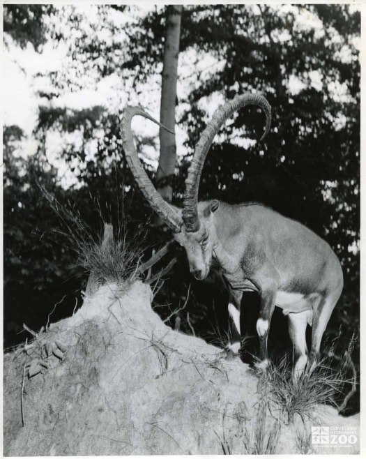 1940's - Ibex on Hill