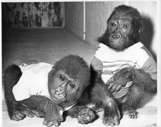 1951 - Yogi and Babo, Baby Gorillas