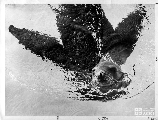 1960's - Sea Lion in Old Sea Lion Pool