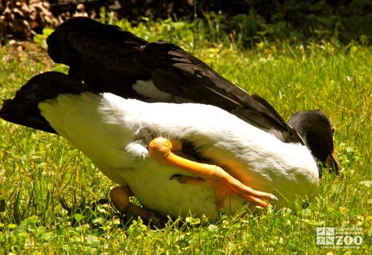 Magpie Goose 3