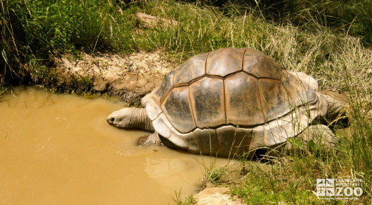 Aldabra Tortoise 1