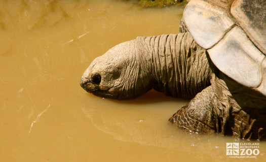 Aldabra Tortoise 2