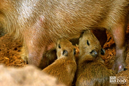Capybara young feeding 3