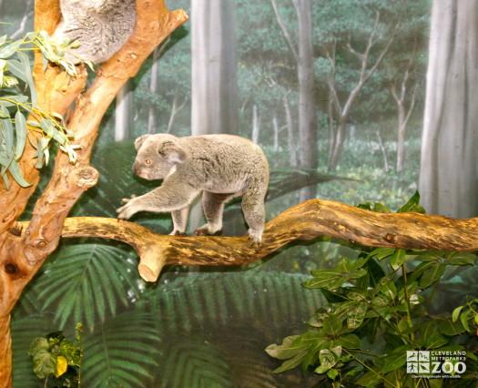 Koala Walking 1