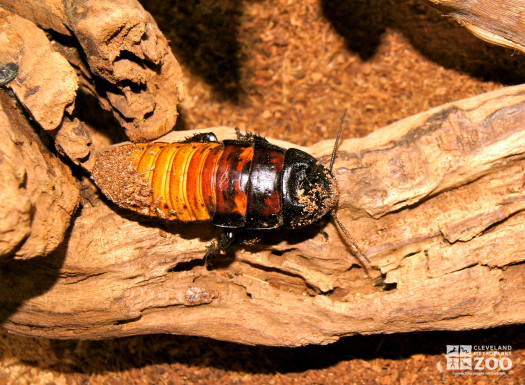 Madagascar Hissing Cockroach 1