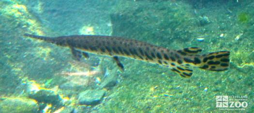 Alligator Gar 3