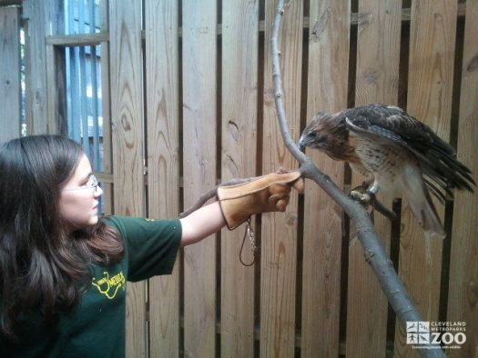 Keeper for a Day Participant with Red Tailed Hawk