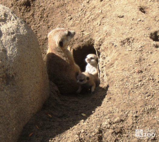 Adult Meerkat and Pups