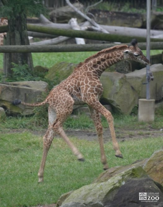 Baby Giraffe Jumping