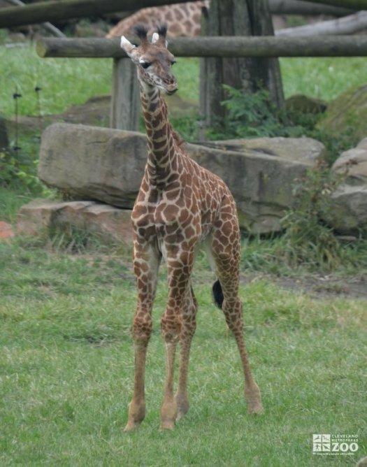 Baby Giraffe Alone
