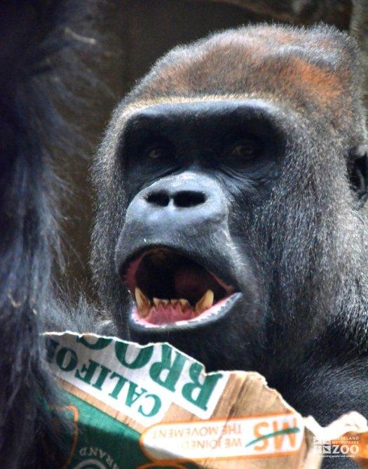 Western Lowland Gorilla with Cardboard