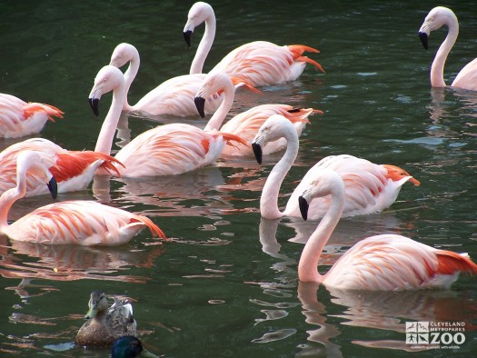 Chilean Flamingos Swimming