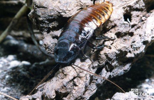 Madagascar Hissing Cockroach 3