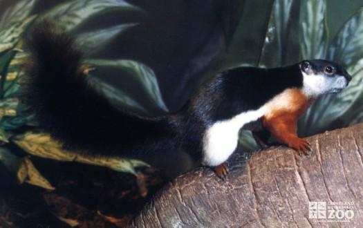 Prevost's Squirrel 2