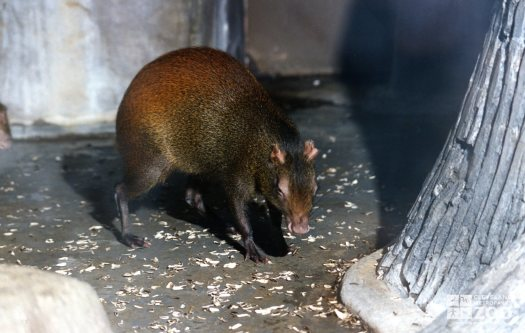 Agouti and Seeds