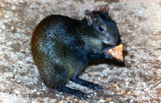 Agouti Eating