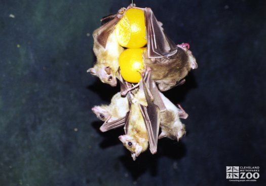 Fruit Bat Hanging on Fruit