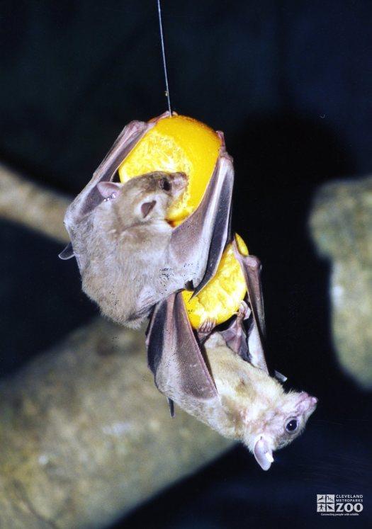 Two Fruit Bats