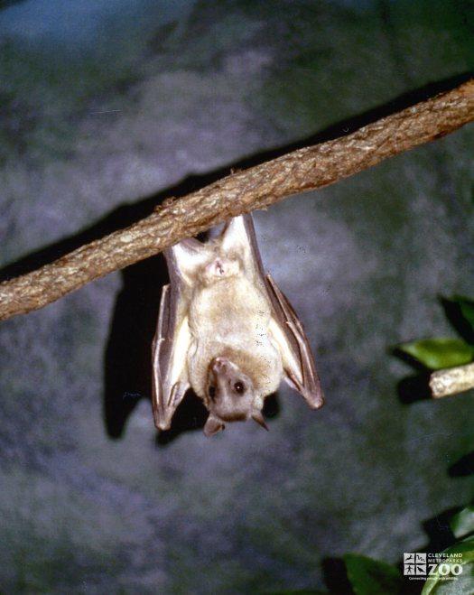 Fruit Bat Hanging on Fruit
