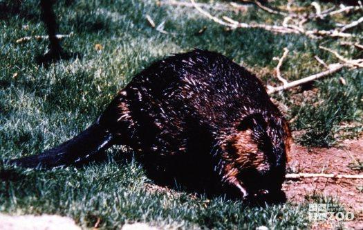 Beaver in Grass