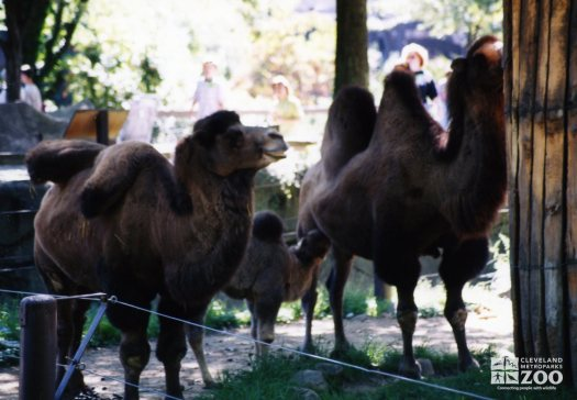 Camels with Baby 2