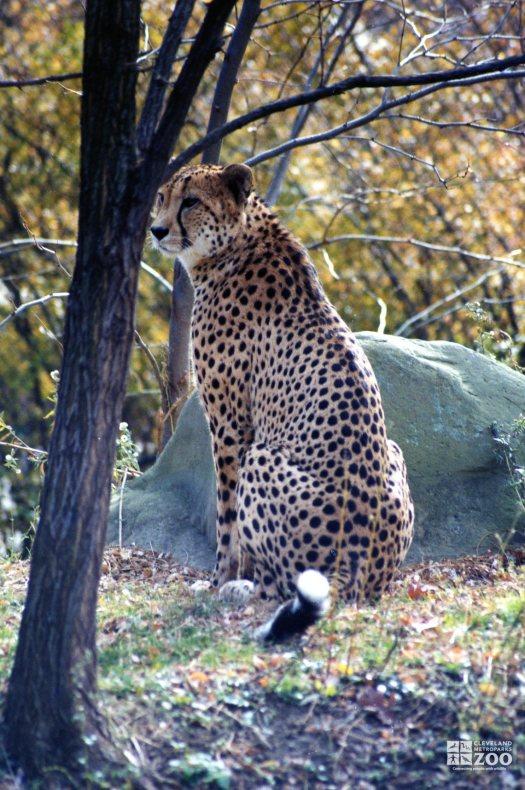Cheetah Among Trees