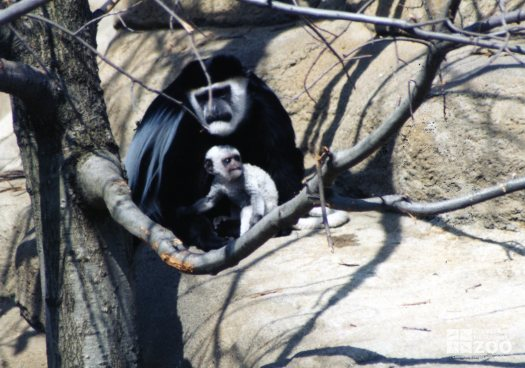 Colobus Monkey with Baby 2