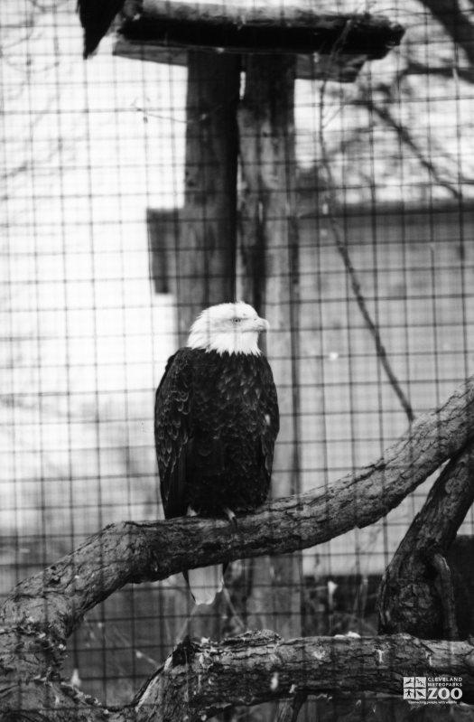 Eagle, Bald 6
