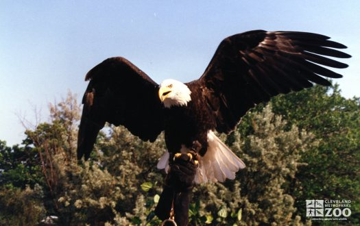 Eagle, Bald with Wings Spread