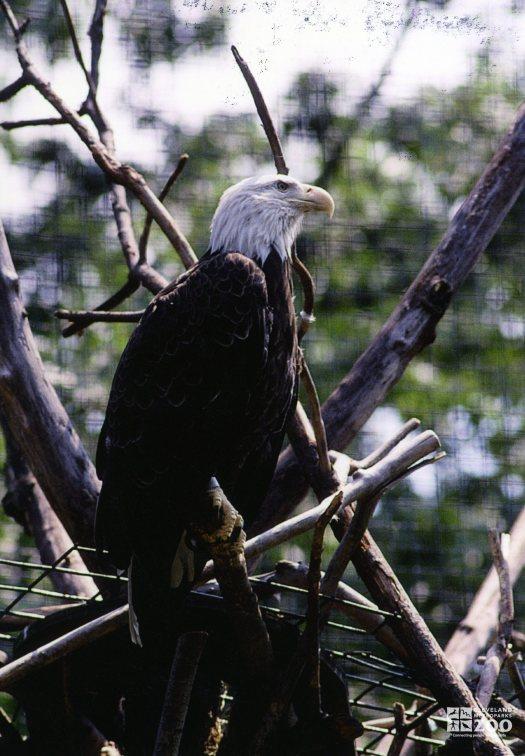 Eagle, Bald 11