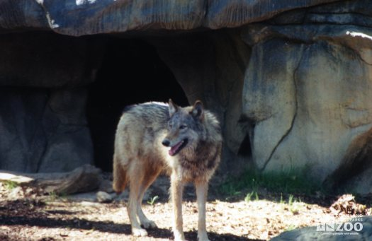 Mexican Gray Wolf Looking Left