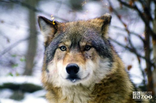 Mexican Gray Wolf Up Close Of Face