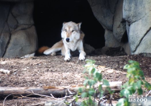 Mexican Gray Wolf In Den