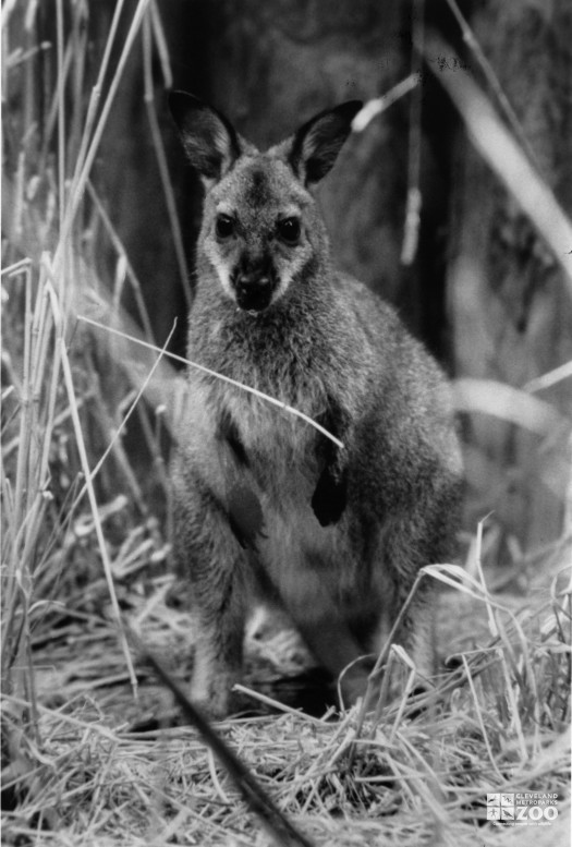 Bennett's Wallaby Black and White Summer 1991