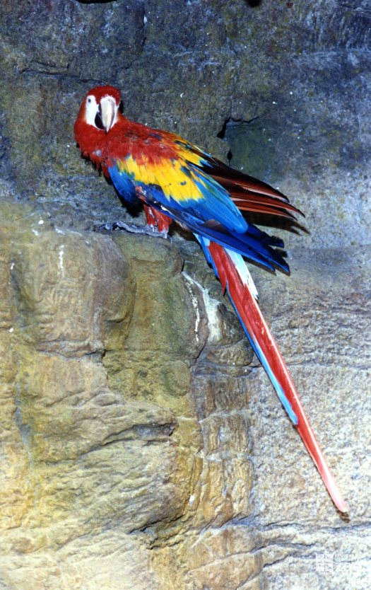 Macaw on a Ledge