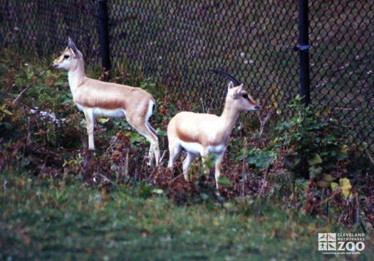 Gazelle, Slender Horned