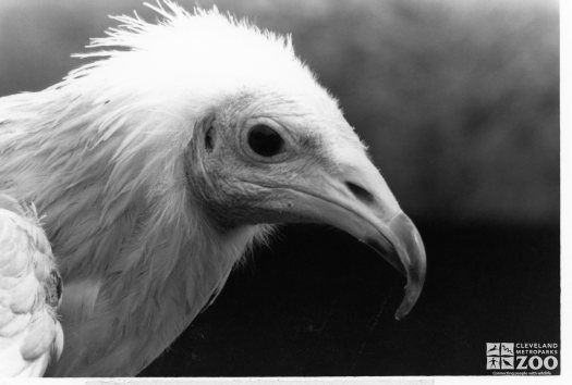 Egyptian Vulture Black and White 2