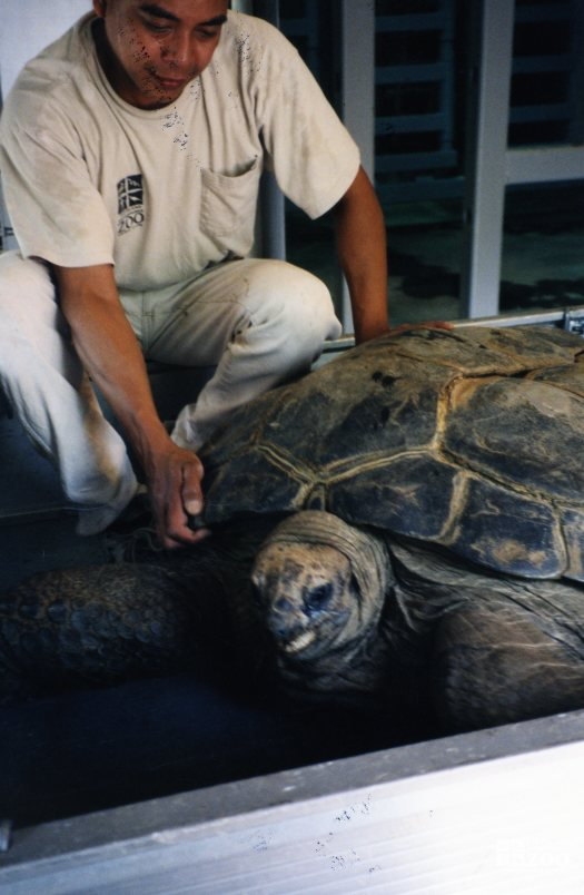 Aldabra Tortoise Getting A Check Up