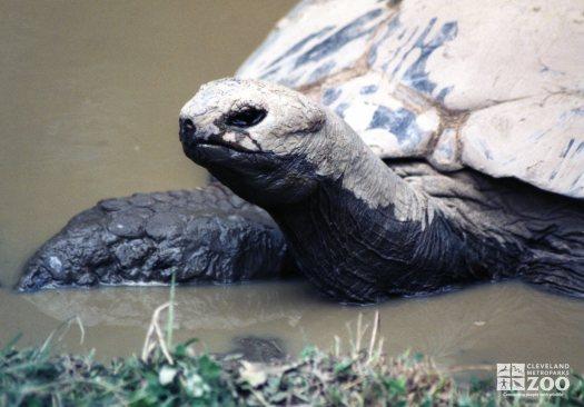Aldabra Tortoise In Water