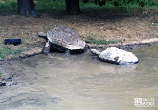 Aldabra Tortoises Leaving Pond