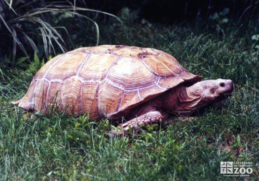 Aldabra Tortoise Laying In Grass
