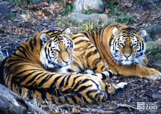 Amur (Siberian) Tigers Resting In Grass 2