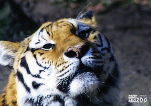 Amur (Siberian) Tiger Face Up Close